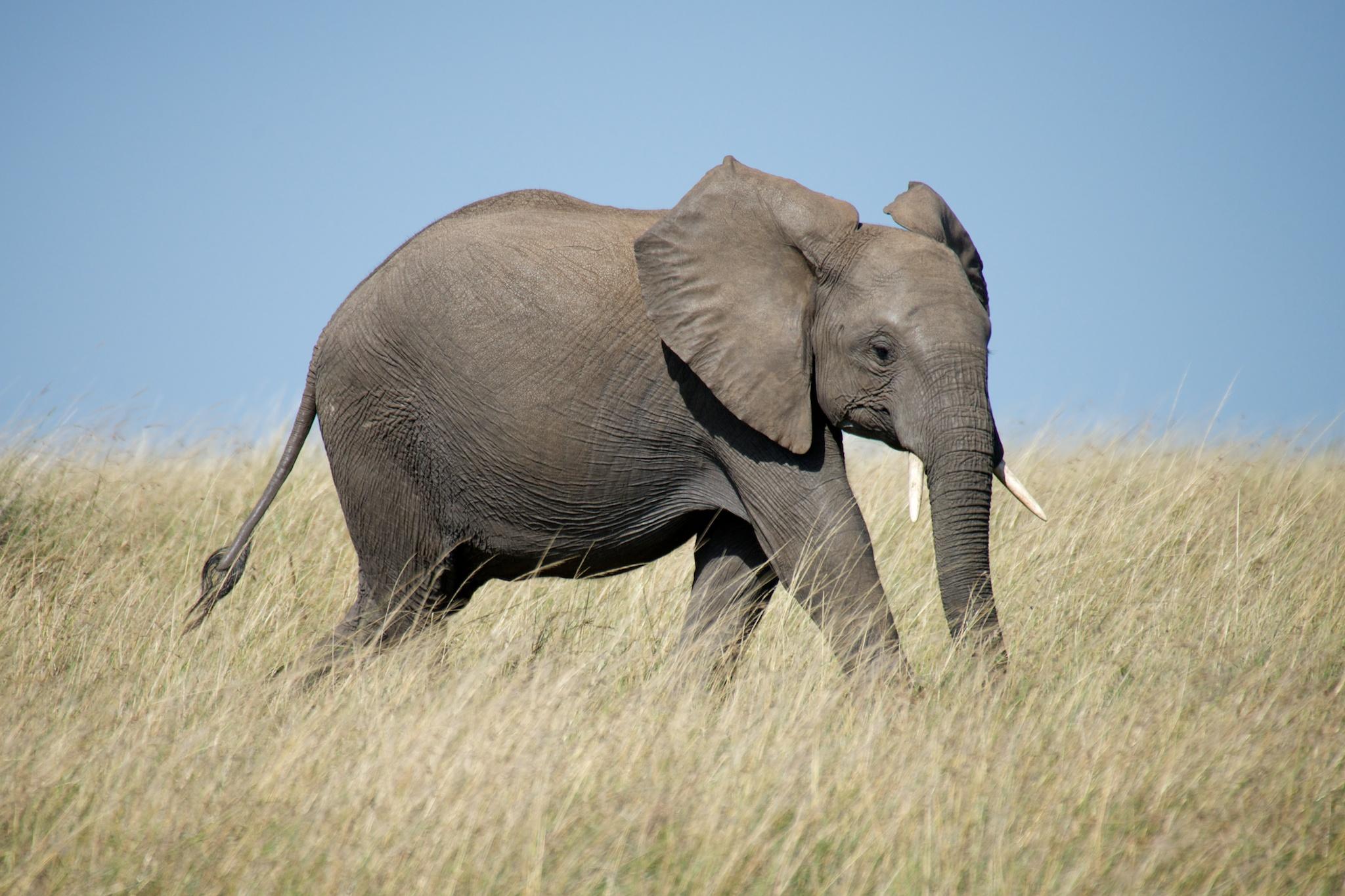 #4: Elephant