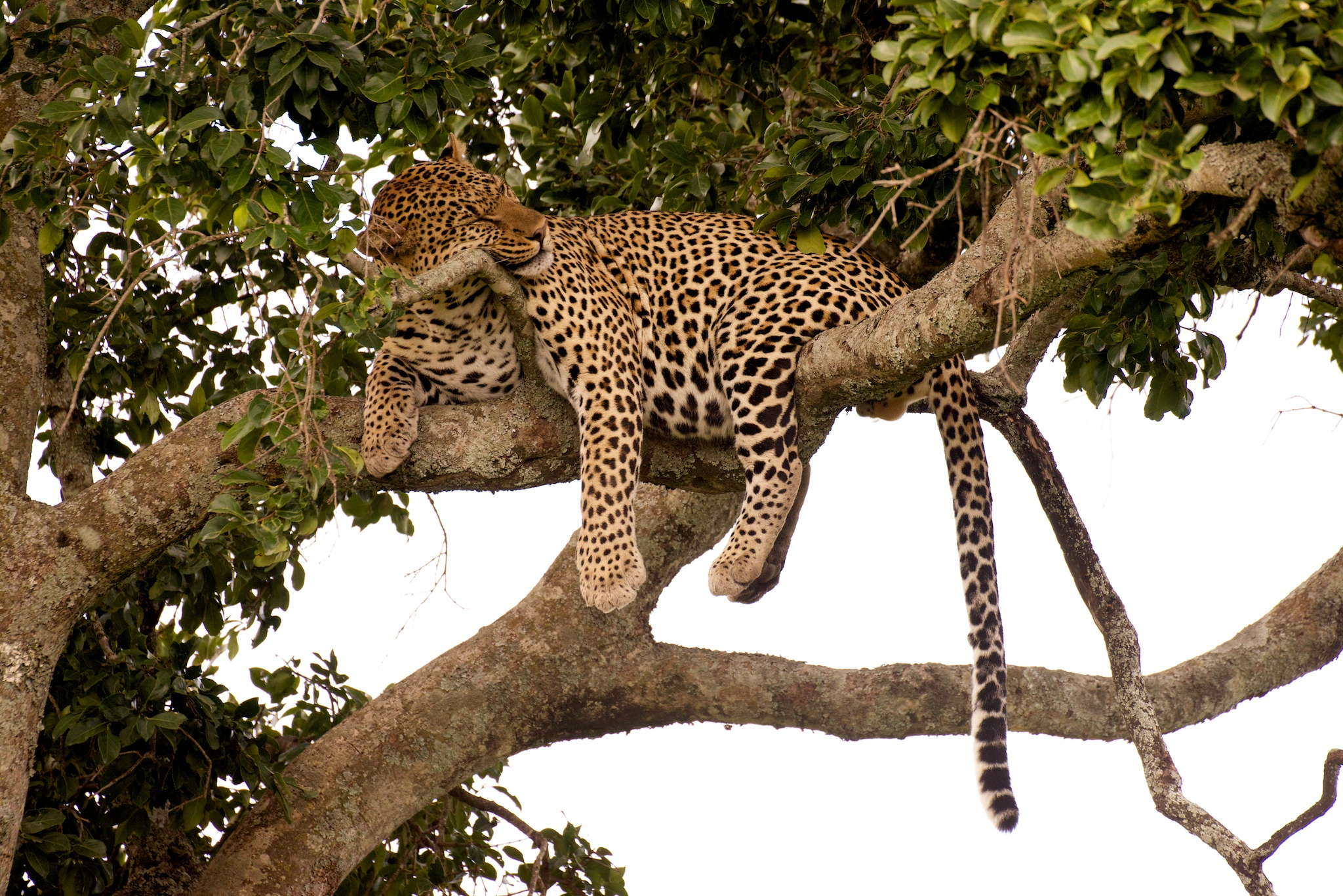 #5: Leopard